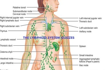 The Lymphoid System Quizzes