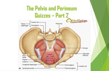 The Pelvis and Perineum Quizzes 2