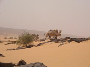 dakhlet_dunes-chameaux-01