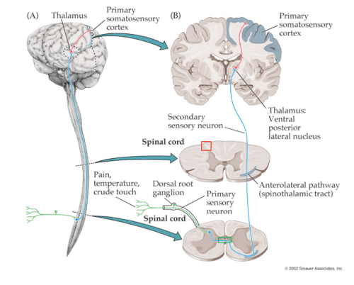 small resolution of the 1st order neurons enter the spinal cord and may ascend in lissauer s tract see red square for 2 3 segments before synapsing in the dorsal horn or the