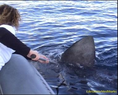 Operazione Squalo Elefante – dal 2005 studiamo il più grande squalo del Mediterraneo, con il contributo della Fondazione Principe Alberto II di Monaco. Vai al sito www.squaloelefante.it
