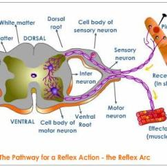 Reflex Arc Diagram 1983 Toyota Pickup Alternator Wiring The Spinal Cord And Nerves   Mested
