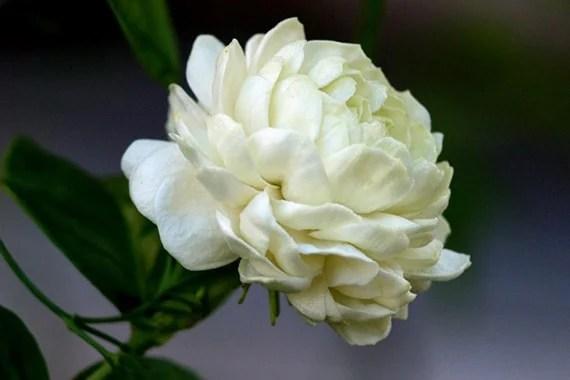 รูปดอกมะลิซ้อน