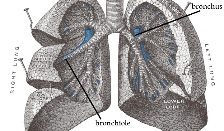 lung anatomy rev