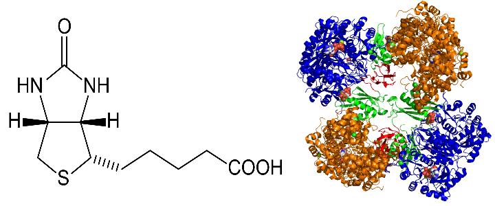 biotin cofactor