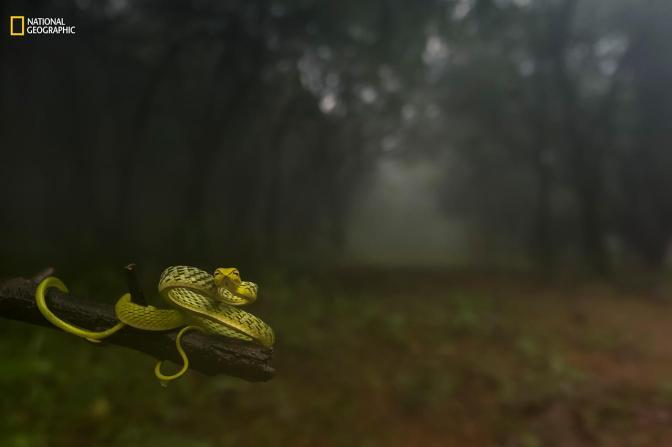 «Утащу тебя в рощу». Первое место в категории «Портреты животных». Снимок был сделан в дождевом лесу в штате Махараштра в Индии. Фото: Varun Aditya / 2016 National Geographic Nature Photographer of the Year