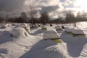 так зимуют пчелы под снегом