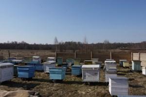 пчелы тащат пыльцу