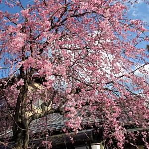 桜満開 京都
