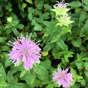 タイマツソウ(松明草)がきれいに咲いています