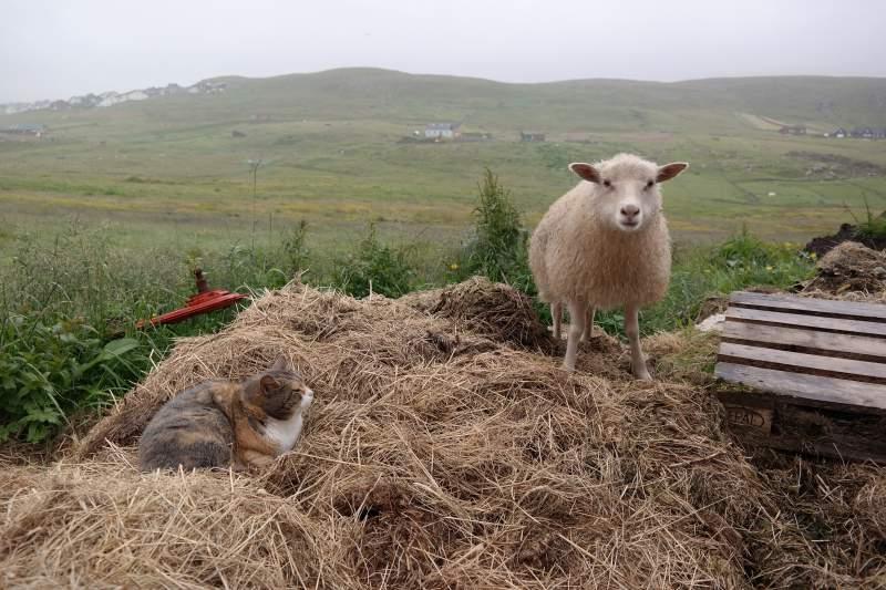 Färöer Schaf und Katze