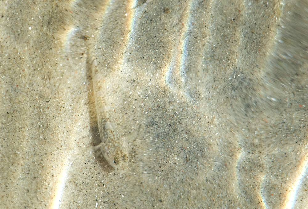 Grondel in het ondiepe water