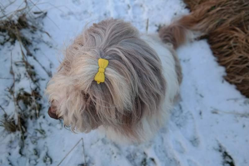 Bearded Collie mit Schleife
