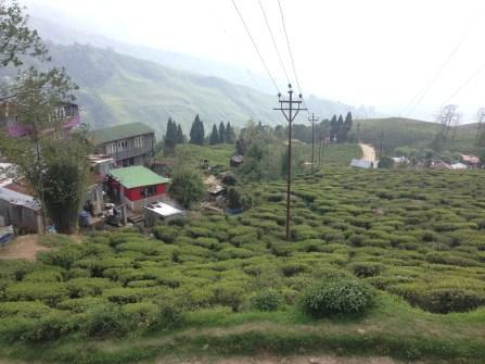 Tea estates!