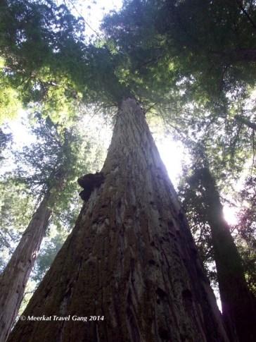 Super tall trees