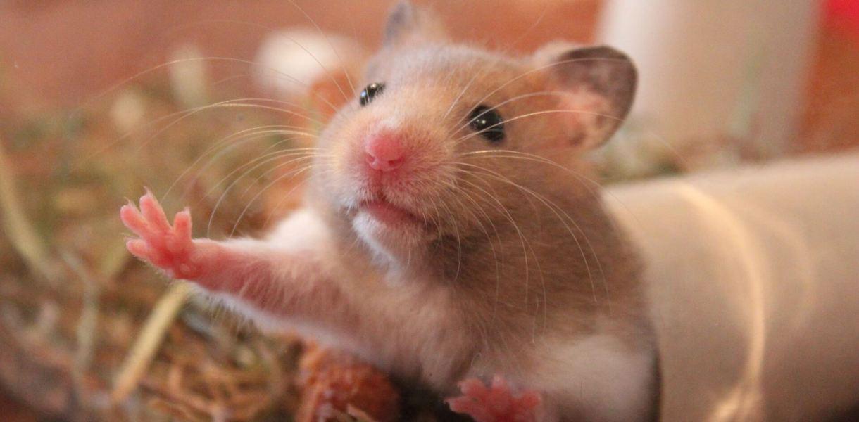 kinderen en hamsters