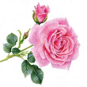 Servetten bloemenprent rosedal 33x33