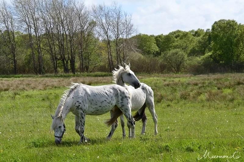 Dänemark Pferde