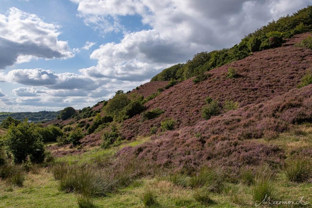 blühende Heide an den Hängen von Rebild Bakker