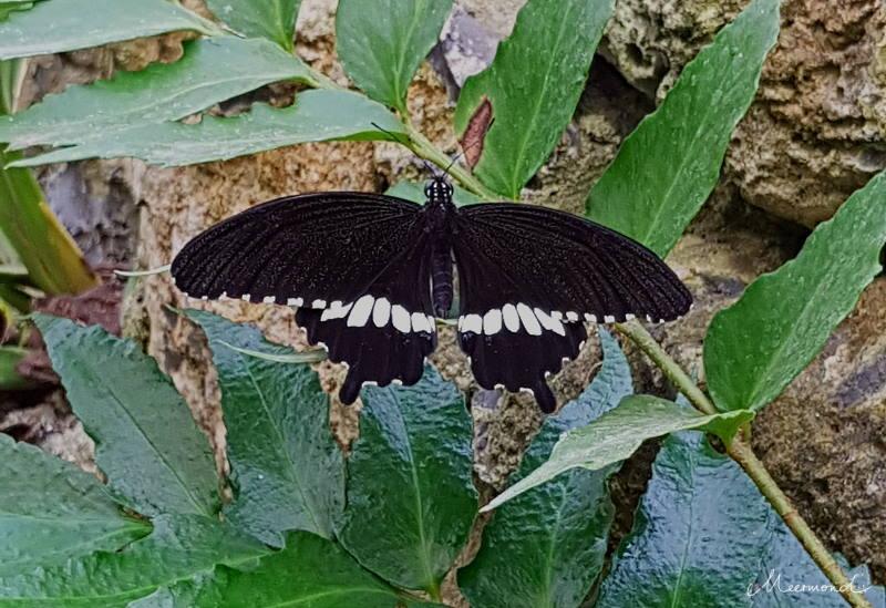 Schwarzer Schmetterling mit weißen Flecken