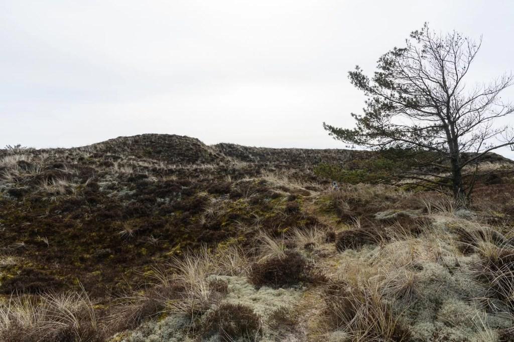 Frühling in Dänemark - Heide und Dünen mit Kiefer
