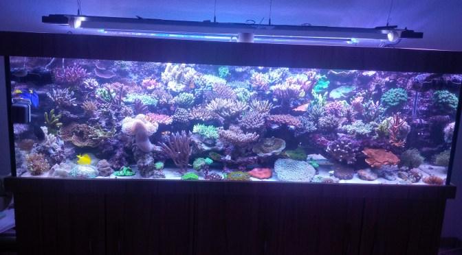 Tridacna maxima  Mein Meerwasser Aquarium