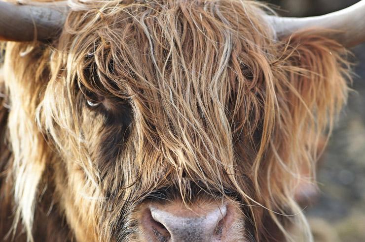 Hairy Cow - Credit Unsplash