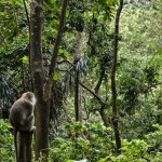 Macaque in the Jungle