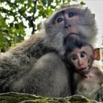 Mum and baby Sacred Monkey jungle