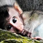 Sacred Monkey Jungle Baby Macaque