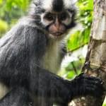 Thomas Leaf Monkey Jungle Trek Bukit Lewang 1