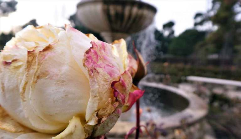 chilly-winter-roses-in-Retirio-park-one-of-the-top-things-to-do-in-madrid--in-winter-optimised