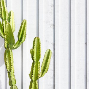 Cactus in front of a white washed wooden wall.