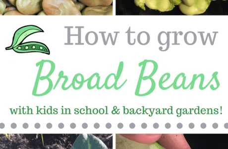 How to Grow Broad Beans With Kids