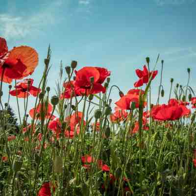 Flanders Field Poppies: A Meaningful Way to Remember