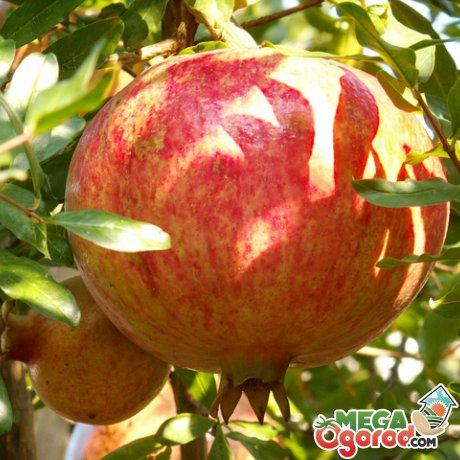 Как правильно обрезать гранатовое дерево. Драгоценная ягода – гранат: посадка и уход. Получение хорошего урожая