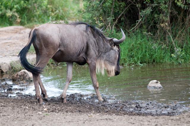 Wildebeest Drinking - Serengeti