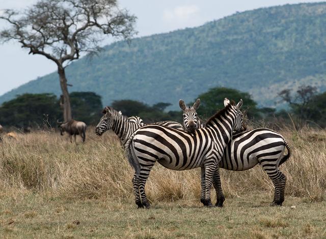 Zebra  - Safari - Serengeti