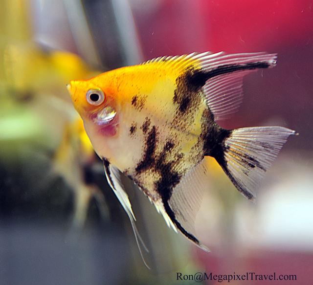 DSC_8877-Angelfish