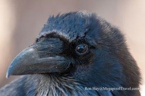 DSC_8036-Raven