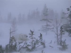 polar bear blizzard