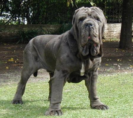 A Neapolitan Mastiff, like Atticus