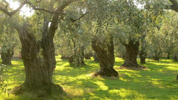 Here's a nice olive grove. I'm not cruel enough to make you look at close up