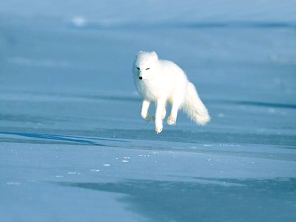 Some arctic foxes can defy gravity (at least for a moment)