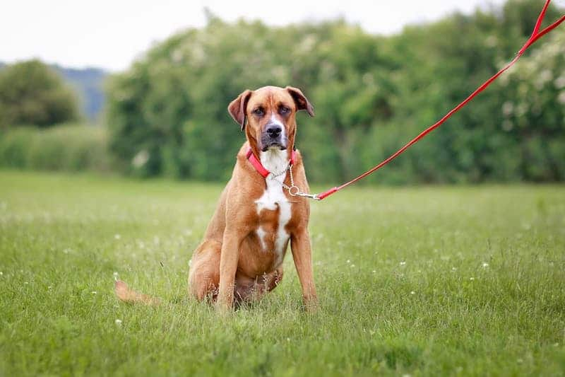 Half check and dog lead