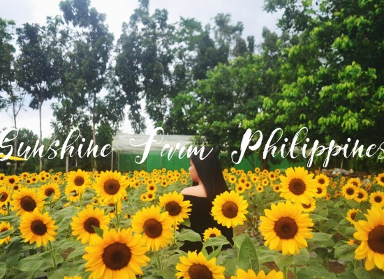 Sunshine Farm Philippines: A Sunflower Farm To Visit In Tiaong, Quezon