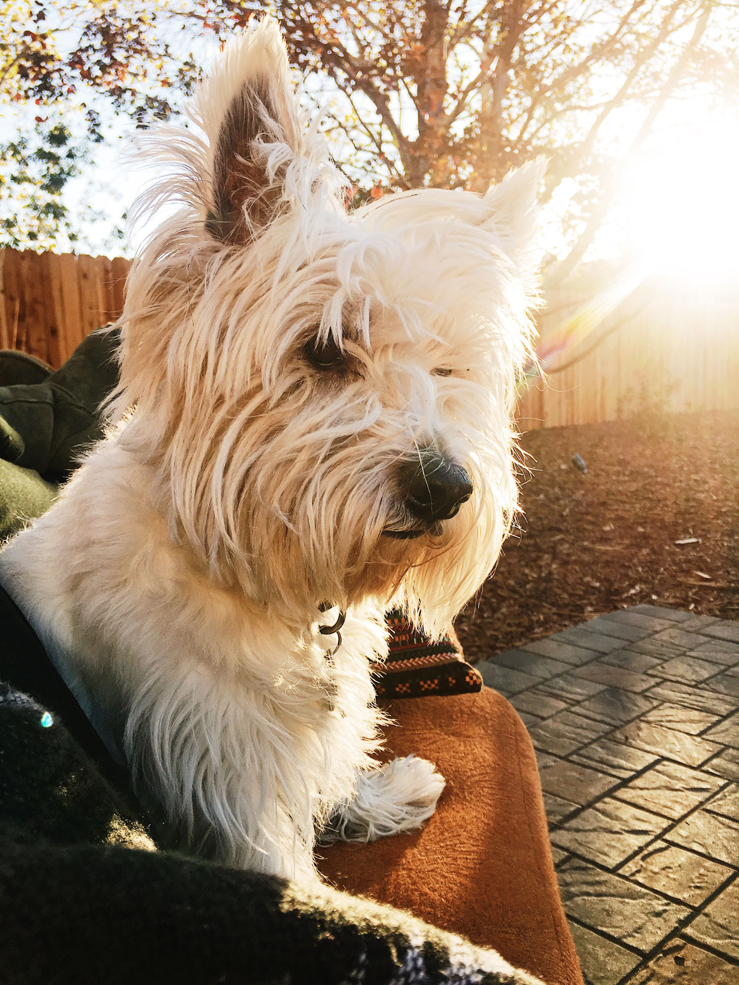 A portrait of the author Megan's West Highland Terrier (RIP).
