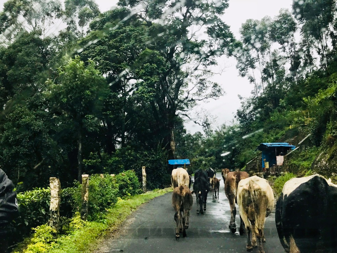 Cows enjoying a stride in the rain on our way to Munnar.