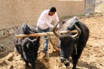 Harnessing the Dzos from a neighbor's farm