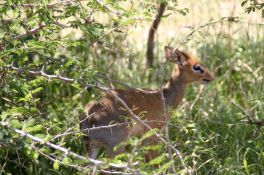 The dik-dik, a very tiny antelope